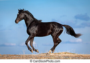Black horse gallops on blue sky outdoors.