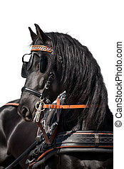 Black horse head isolated