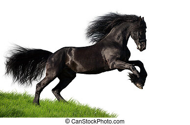 Black Friesian horse gallops on the green hill, isolated on white background.