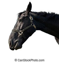 Black horse isolated on white.