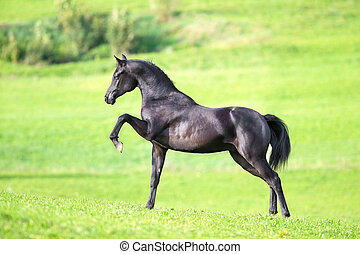 Black horse on green field