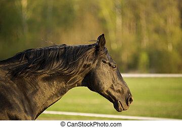 black horse portrait in action