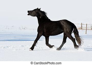 Black horse shire run gallop in winter