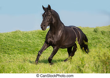 Black horse runs on a green field on sky background