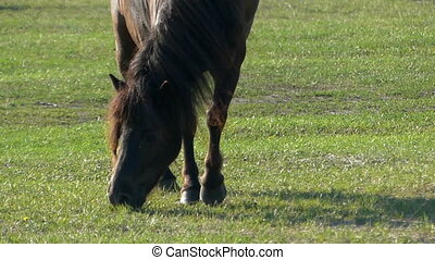 Black horse with a long mane grazes grass on a lawn in slo-mo