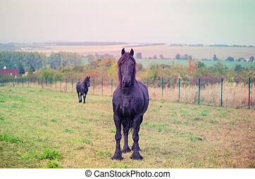 black horses in the meadow