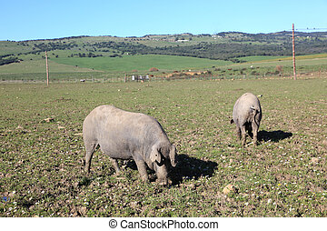 Black Iberian pigs on a meadow in Andalusia, Spain