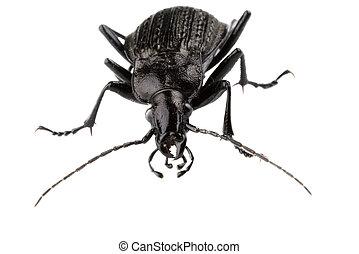 Black isolated bug with big feelers