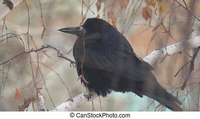 A black jackdaw bird sits on the branches of a birch tree in the cold autumn