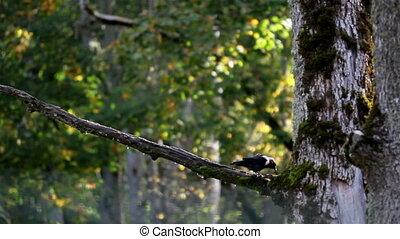 Black jackdaw Corvus monedula bird on top of the tree branch