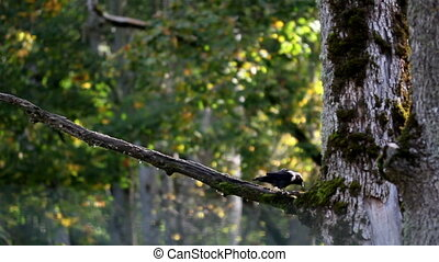 Black jackdaw Corvus monedula bird on top of the tree branch