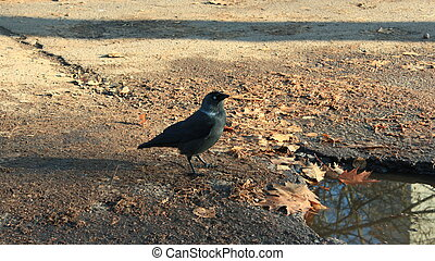 black jackdaw on the ground