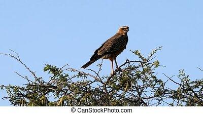 Black kite, falcon hawk, bird of prey, Africa, Namibia -...