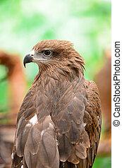Black Kite (Milvus migrans), back profile