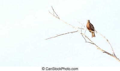 Black Kite Milvus migrans - Black Kite (Milvus migrans)...