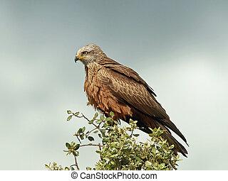 Black kite (Milvus migrans)