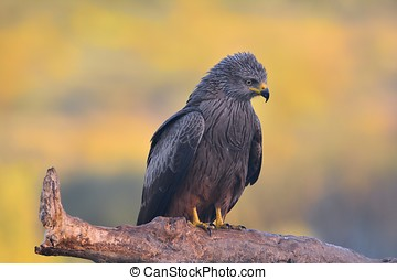 Black kite perched on a branch.