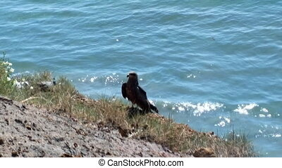 Typical birds of India in typical biotope. Black kites settled on cliff above ocean. One bird sits on edge, spreads her wings, opens beak (close-up), other flying over water. Persian Gulf, Goa and Kerala