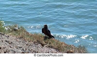 Black kite settled on cliff above ocean. - Typical birds of...