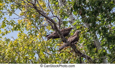 Black Kite - Two black kites are sitting on a dry branch of...