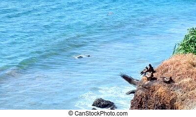 Black kites settled on cliff above ocean. Kerala. India -...