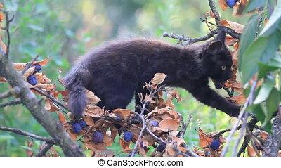 black kitten climbs on a plum tree