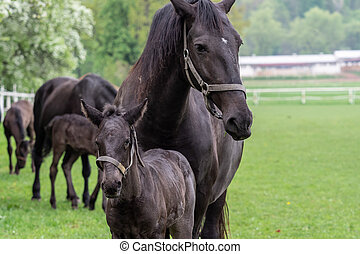 Black horse, mare with foal. Birth of foal in spring