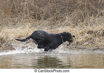 A black labrador retriever fetches a duck decoy in Hauser Lake, Idaho.