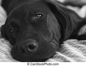 Black Lab Laying On Bed - Black Lab sleeping on a bed