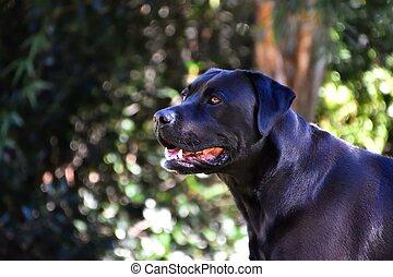 Black Lab - A portrait of a happy black Labrador