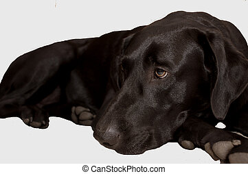 Black Lab - Female black labrador retriever lying down with...