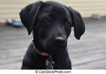 Black Lab Pup With His Head Slightly Tilted - Cute black lab...