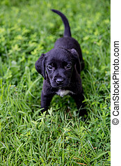 Black Lab pupies - 6 Week old Black Lab pupies playing in...