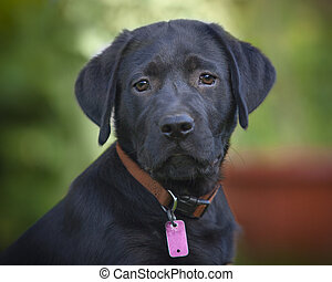 black lab puppy - One black lab puppy sitting outside