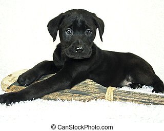 Black Lab Puppy - Black Lab puppy with a canoe paddle