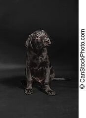 Black Lab puppy Studio - One female black labrador retriever...