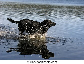 Black lab running - Black labrador retriever running in...