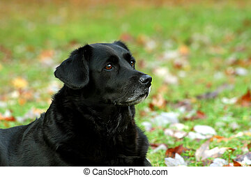Black Labrador 1 - Close up of black lab dog outdoors in...