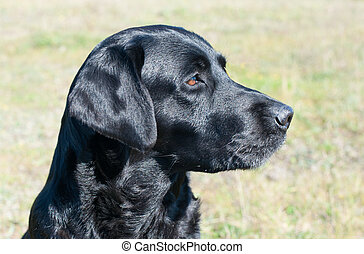 Black labrador close up portrait