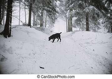 black Labrador dog in the snow in forest