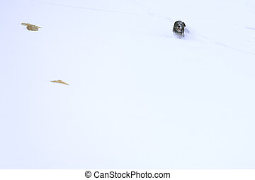 Black Labrador dog running through the snow in mountaint