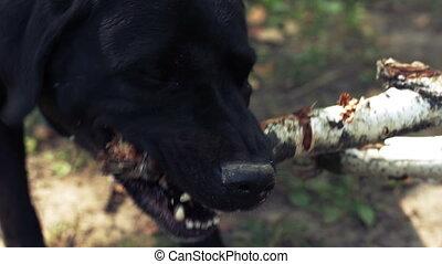 Black labrador gnawing a stick.