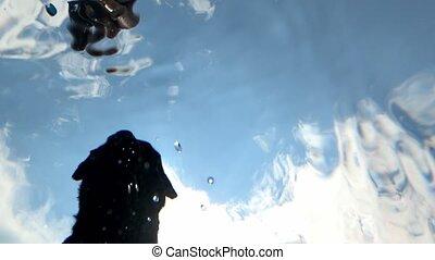 Black labrador in a pool - Black dog labrador retriever next...