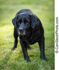 Black Labrador - Old black labrador retriever playing at the...
