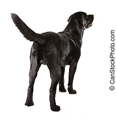 Black Labrador Retriever 16 months old isolated on white...