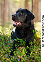 dog - black labrador retriever dog
