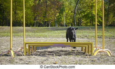Black labrador retriever jumping at obstacle - Black...