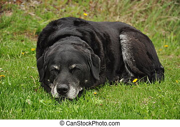 black labrador retriever sleeping