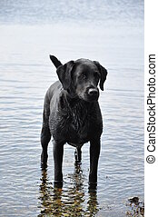 black labrador retriever standing