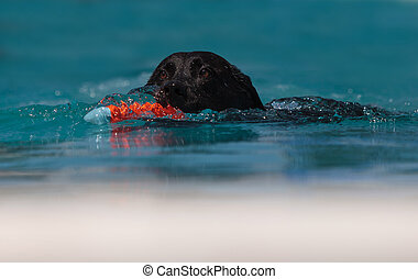 Black Labrador retriever swims with a toy in a pool in...